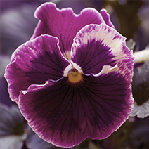 Flower Gift Ideas: Pansy