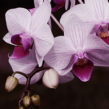 Flower Gift Ideas: Orchid